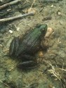 Green frog, Lithobates clamitans. Photo: Kieko Matteson.