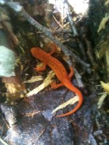 Red Eft - Notophthalmus viridescens. Photo: Kieko Matteson.