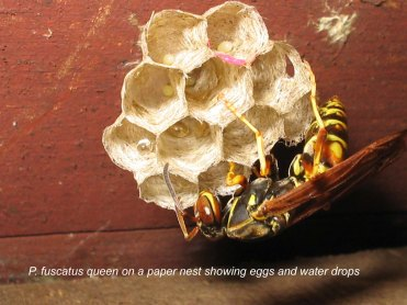Polistes fuscatus queen on nest. Photo by Sai Suryanarayanan.