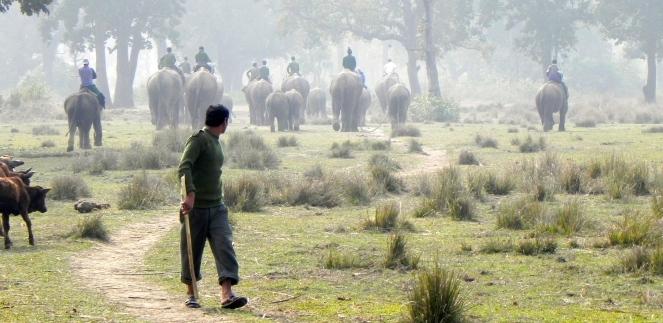 Chitwan elephants going to graze. Photograph by Piers Locke.