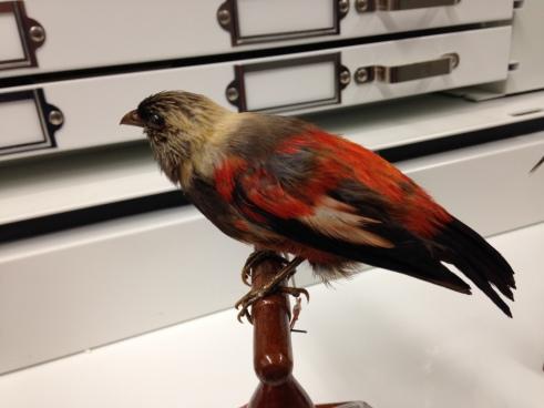 Drepanis funerea (The Black Mamo), now extinct, Bishop Museum, Honolulu. Photograph: Dan Lewis.