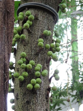 The little figs are attached directly to the trunk of the tree. Photo: Sasha Gora.