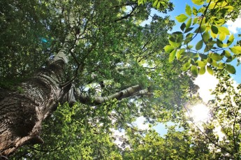 The black poplar can reach heights of up to thirty meters, but requires a regularly- flooded environment to do so.
