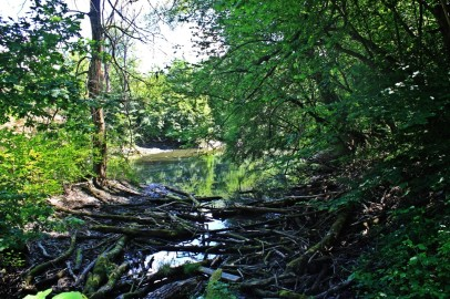 The messy riparian forest is an ideal home for beavers.