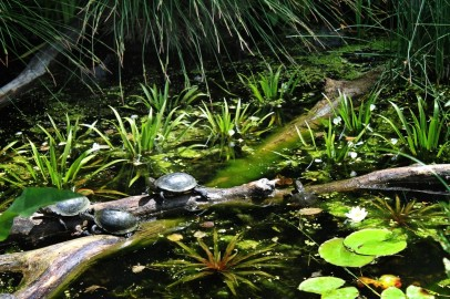 The European pond turtle is the only native turtle species in Central Europe. In Austria, they are found only in the Danube wetlands East of Vienna.