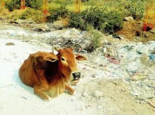 cow_10