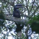 A black-casqued hornbill? Photo: Dave Jacobs.
