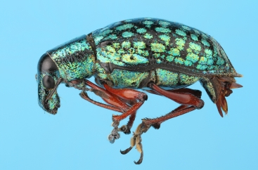 Weevil from Costa Rica, Cartago.