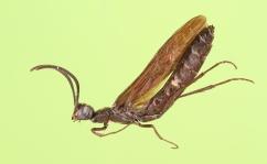 Rose shoot sawfly (Cephidae, Hartigia trimaculata (Say))