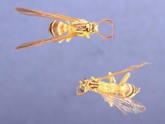 Moth mimics wasp from Trinidad.