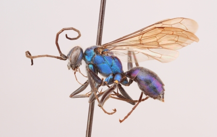 Spider wasp female (Pompilidae, Auplopus architectus)