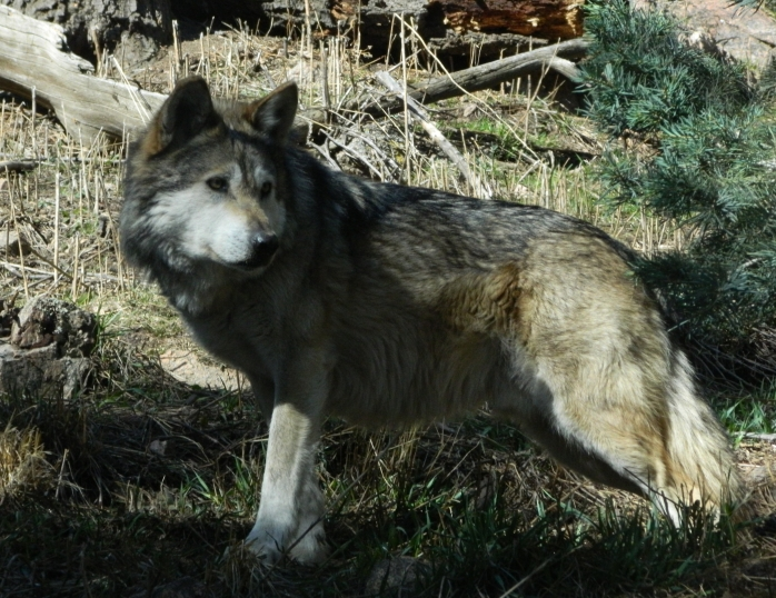 Mexican_grey_wolf_cheyenne_mountain_zoo