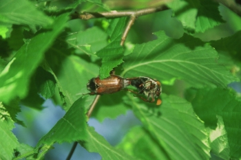 Cockchafers mating. Photo courtesy of Ernst-Gerhard Burmeister.