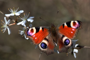 Peacock butterfly on blackthorn, Otmoor RSPB reserve, Oxfordshire. Photo by Charles J Sharp [CC BY-SA 3.0], from Wikimedia Commons
