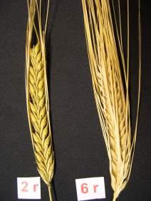 BarleyEars