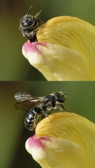 Chelostoma_rapunculi_-_Pedicularis_sceptrum-carolinum_-_Niitvälja_bog