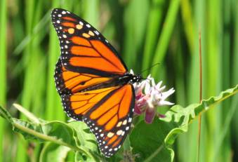 monarch_milkweed2