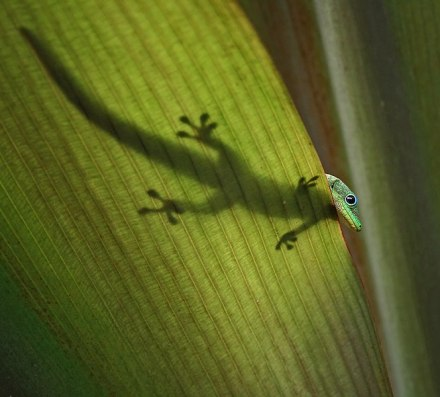 664px-gold_dust_day_gecko