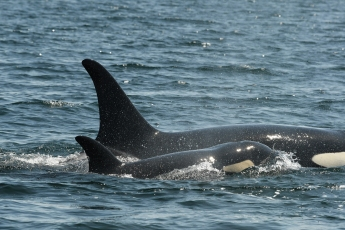 Scarlet (J-50). Photo courtesy of the Center for Whale Research.