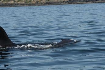 Tahlequah (J-35) holding up her dead calf. Photo courtesy of the Center for Whale Research.