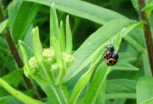 Leaf beetles on butterfly milkweed, by Nina Zitani, used here with kind permission.