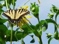 Tiger swallowtail butterfly on cup plant, by Nina Zitani, used here with kind permission.